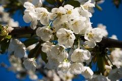 06c-fiori-di-ciliegio