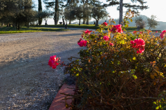aiola-rose