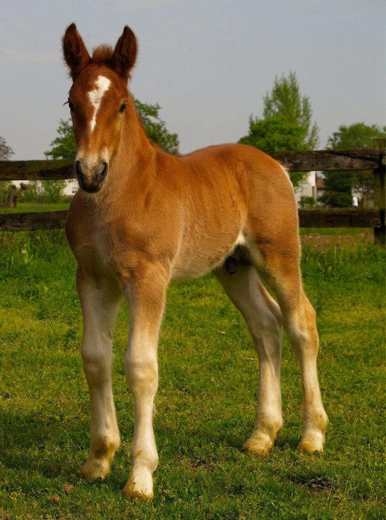 Ben noto Il cavallo TPR friulano, un gigante da salvare – Andamento Lento GQ59