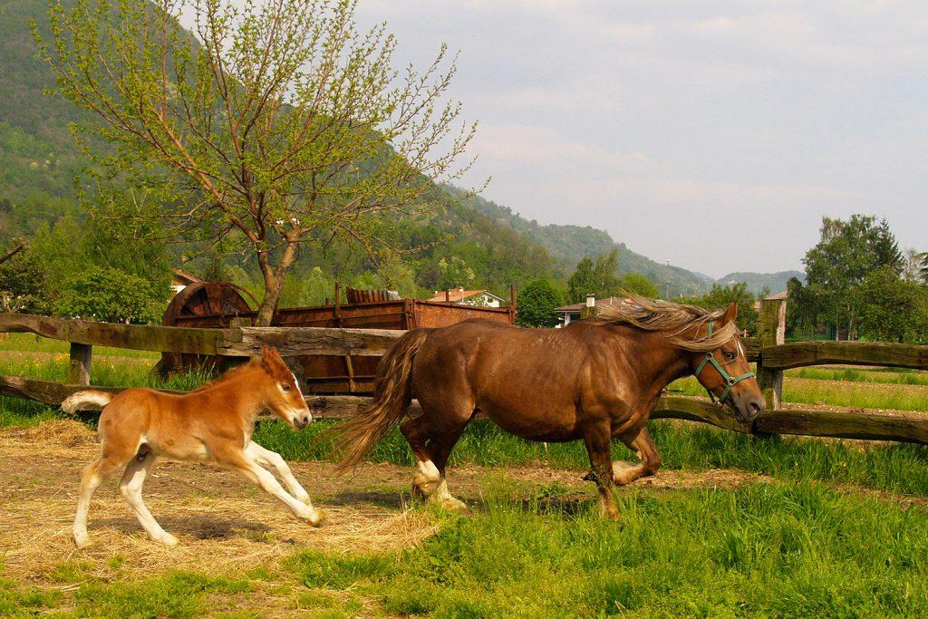 Famoso Il cavallo TPR friulano, un gigante da salvare – Andamento Lento XK92